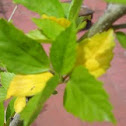 leaves of hibiscus