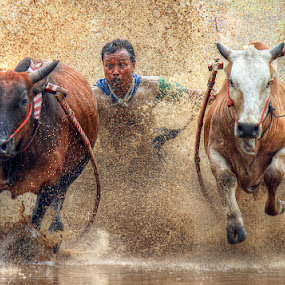 High speed by Deny Suryati - Sports & Fitness Rodeo/Bull Riding ( cultur, indonesia, traditional, pacu jawi )