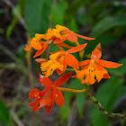 Orquídea Epidendrum