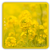 rapeflower [Live Background]