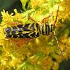 Locust Borer