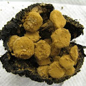 powdery mushroom on blackened Russula