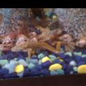 Western Dwarf Clawed Frog