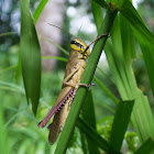 Casava Grasshopper