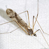 Picture Wing Crane Fly