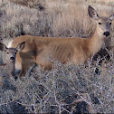 Mother and Fawn California Mule Deer