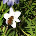 Honey bee on a wind flower.