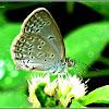 Lesser Grass Blue Butterfly (Male)