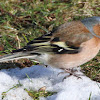 Male Common Chaffinch