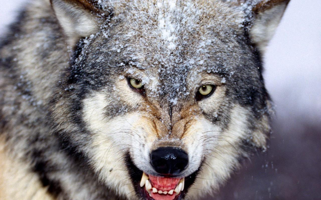Wolves Jigsaw Puzzles - screenshot