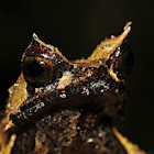 Mindanao Horned Frog