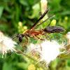 Paper wasp. Avispa papelera