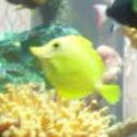Yellow Tang or Surgeonfish