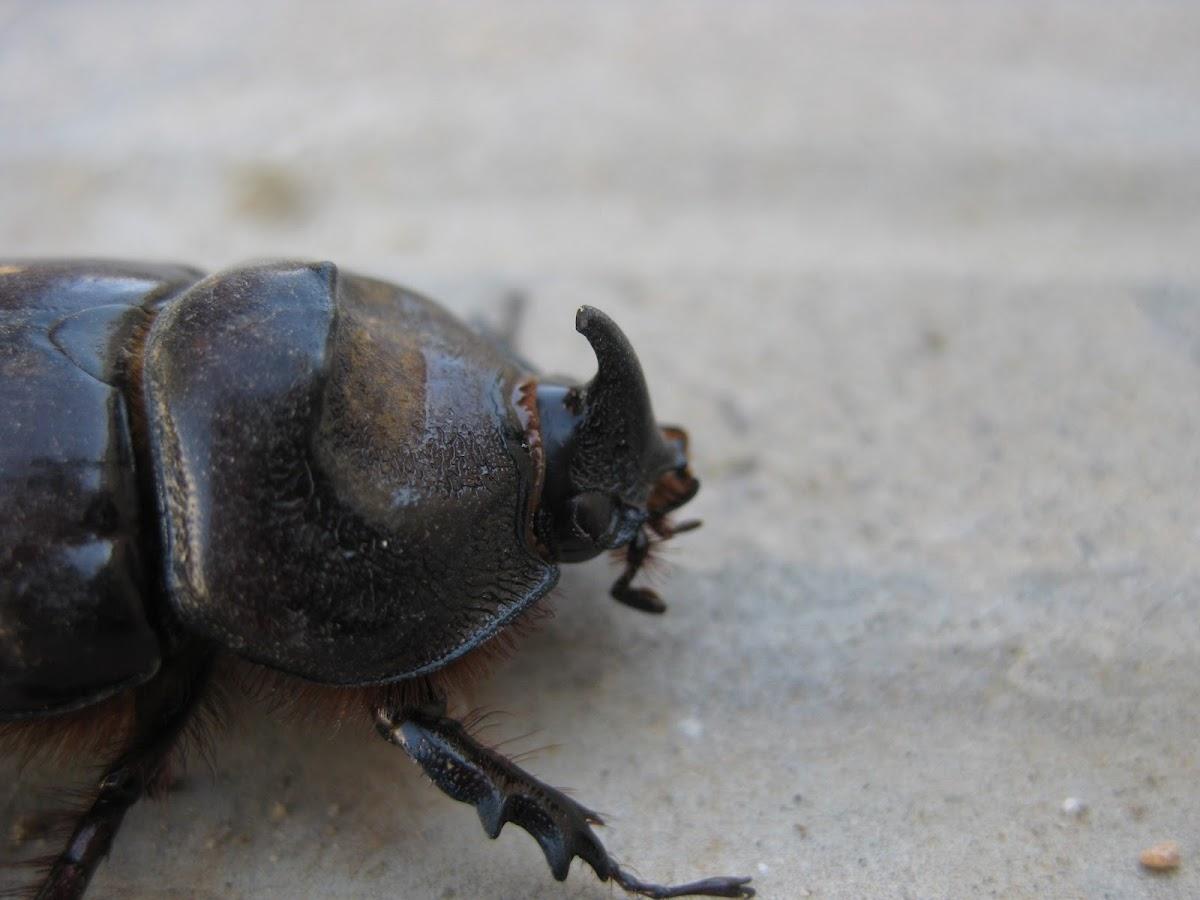 european rhinoceros beetle; escarabajo rinoceronte europeo