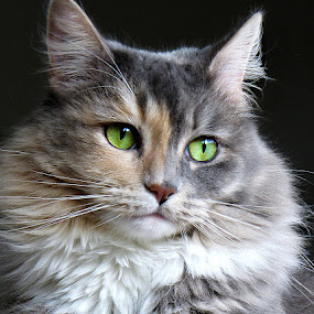 by Trish Hamme - Animals - Cats Portraits (  )