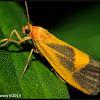 Lead-colored Lichen Moth