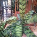 Calathea Rattlesnake