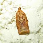 Tortricid Moth