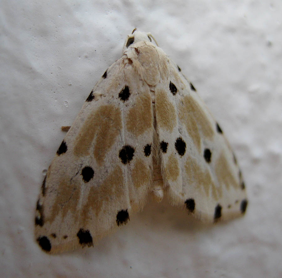 Dotted Moth