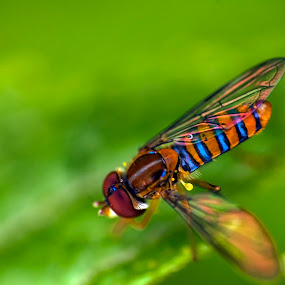 Flower fly by Maritere Izaguirre - Animals Insects & Spiders ( animals, fly, macro photography, flower fly, insects,  )