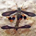 Tiger Moths - mating pair