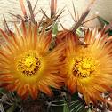 Cactus Biznaga
