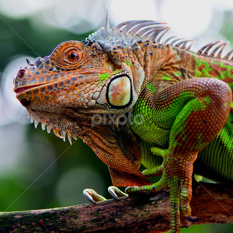 Green Iguana by Ajar Setiadi - Animals Reptiles (  )