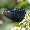 Red-spotted Purple (