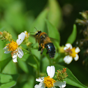 Southern Carpenter Bee