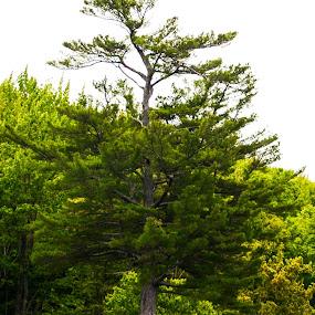 Lone tree.. by Reshmid Ramesh - Nature Up Close Trees & Bushes ( tree, bush, lone, rock, pine, alone )