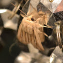 Leucania Moth