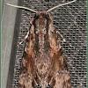 Gray Hawk Moth or Privet Hawk Moth