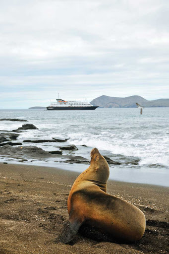 A Galapagos sea lion in repose.