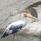 Painted Stork& Night Heron