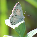 Common Hedge Blue