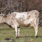 Guadarrama Cattle