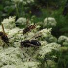 Yellow-jacket wasp and Bald face wasp