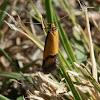 Isomoralla moth -Oecophorid