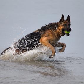 Water Fun by Trevor Bond - Animals - Dogs Playing ( water, ball, nz, dog, , #GARYFONGPETS, #SHOWUSYOURPETS )