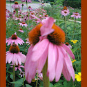 Eastern Purple Coneflower Super 8
