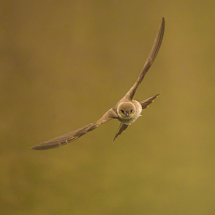 house swallow looking for bugs by Stephen  Barker - Animals Birds