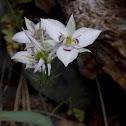 Lyall's Star Tulip