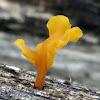 Fan-shaped jelly fungus