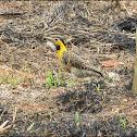 Pica-pau do papo amarelo