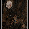 Ornamental Tree-Trunk Spider
