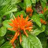 Orange plume flower