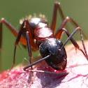 Camponotus ligniperdus (Braunschwarze Rossameise)