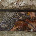 紅斑蛇 / Red-banded snake