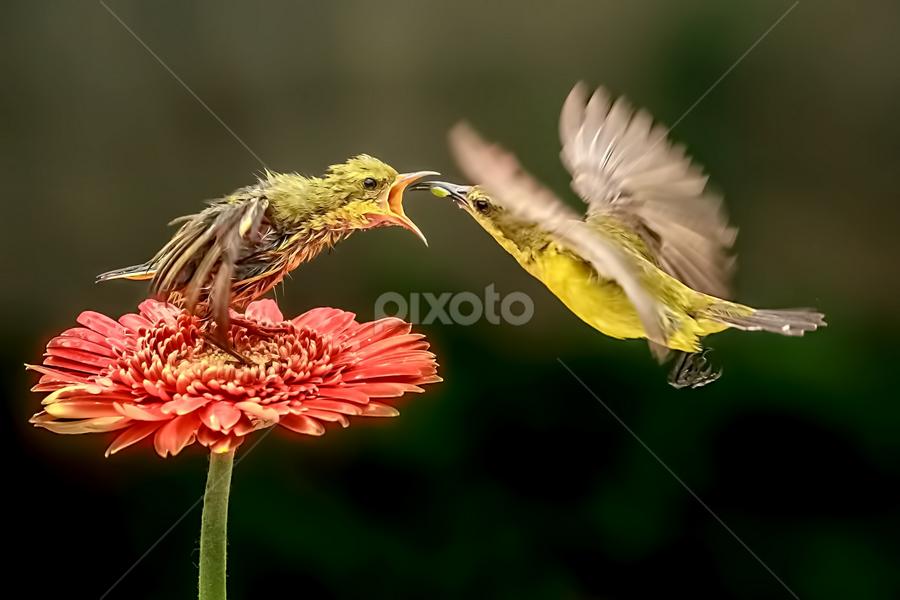 Colibri ...... by Husada Loy - Animals Birds (  )