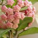 Hoya  (wax plant)